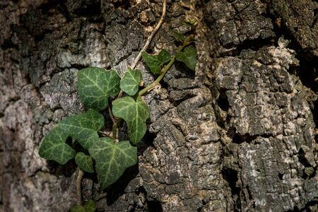 ivy attached to the bark of the secular oak and hikers walk along the hills rich in vineyards, olive groves, cork oak trees, mushrooms and water courses in the area of Montescudaio province of Pisa in Tuscany