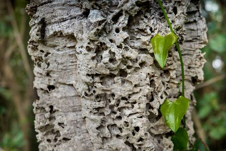 ivy attached to the bark of the secular oak , hikers walk along the hills rich in vineyards, olive groves, cork oak trees, in the area of Riparbella, Tuscany Archivio Fotografico