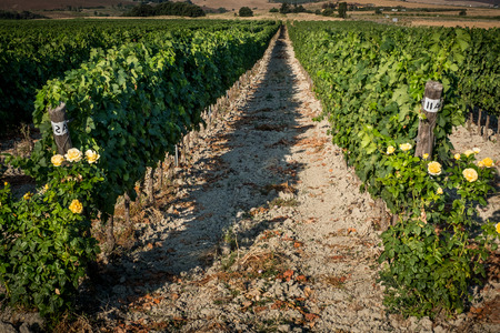 Pastina, Pisa, Tuscany - valley between Santa Luce and Pastina in the province of Pisa, roses to perfume wine, processing and care of the vineyards of red and white wine 免版税图像