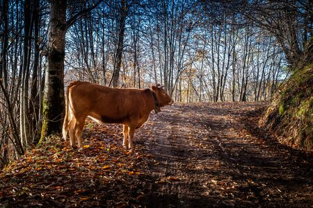 Cow on the road that leads from Croce to Veglia up to Pontito, walking along the Lucchese Apennines, Lucca - Tuscany, Italy