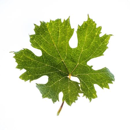 Leaf of Montepulciano, a black grape variety grown mainly in central Italy, particularly in Abruzzo, Marche and Umbria