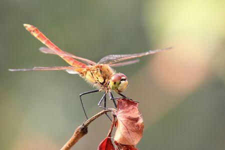 Dragonfly in my garden. Close up. Zdjęcie Seryjne