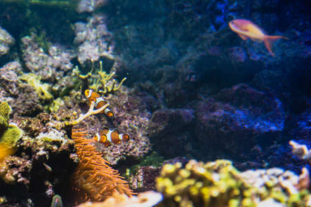 A pair of hesitant and shy Clown Fish appears among the underwater seaweed. A couple of Clown Fish look at ease in the open while this species is notoriously withdrawn, introvert and secluded