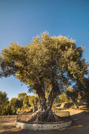 Millenary olive tree in Parc d' Estienne d' Orves (Olivier Millenaire du Parc d' Estienne) is an ancient, secular olive tree and landmark that conveys agricultural and rural concept - Nice, France Stock fotó