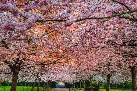 Symbol of renewal and rebirth, a sakura cherry alley blooming at sunrise with a lavish flowers blanket that shines and shelters two people or a couple underneath the pink boulevard conveys delicacy Stock fotó