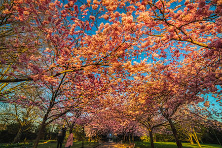 Sakura cherry alley or boulevard blooming with thick flowers shining with sunrise colours. The flowerage, symbol of renewal and rebirth, shelters people underneath with its pink flower blossoms Stock fotó