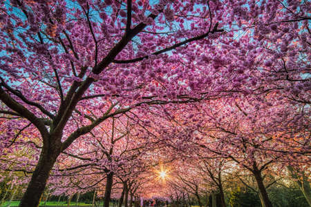 Sakura trees boulevard blooming in Bispebjerg Kirkegard at sunrise with sun rays through the thick flowers that shelter people in the distance. Cherry alley pink flower blossoms - Copenhagen, Denmark Stock fotó