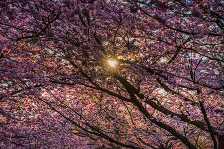 Sun peeps through lavish blanket of cherry blossoms, symbol of renewal and rebirth. Lush sakura flowers shine at sunrise conveying a fragility concept and frail feelings with an expression of delicacy