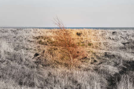 Lone fragile, coloured tree in the shrubland by the sea on bears solitude, loneliness and desolation. Colored tree conveys isolation and fragility on a black and white background - Falsterbo, Sweden