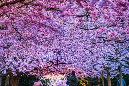 Sakura blooming with intense, lush pink colour bear renewal and rebirth. Lavish pink cherry blossoms pattern or texture with people admiring the cherry alley underneath the lush tree or flower tunnel