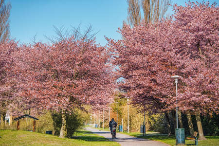 Person cycling underneath blooming cherry trees (Sakura) at spring. People crossing a coloured alley or boulevard in Bunkeflostrand. Outdoor activity among pink cherry flowers in a park. Malmo, Sweden Banque d'images