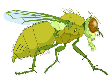 musca domestica: fly drawing