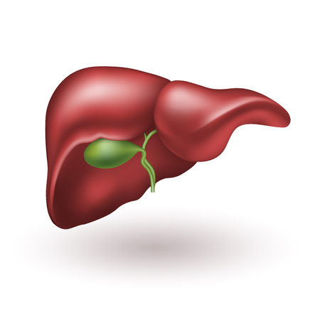Human liver. Realistic vector illustration