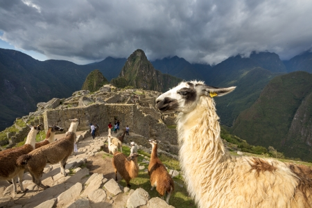 Machu Picchu with Alpaca - Peru photo
