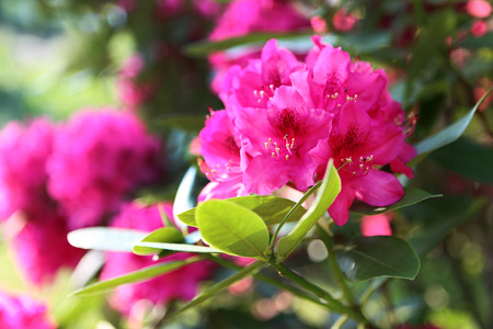 Hydrangea   Beautiful flowering hydrangea shrub blooming  photo