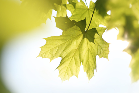 acer platanoides: Common Maple green leaf  Retail, close-up on a maple leaf