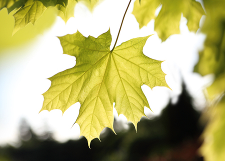 acer platanoides: Maple, green leaf Retail, close-up on a maple leaf