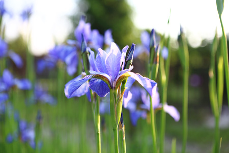 Iris - summer landscape  Beautiful iris flowers, flowery meadow  photo