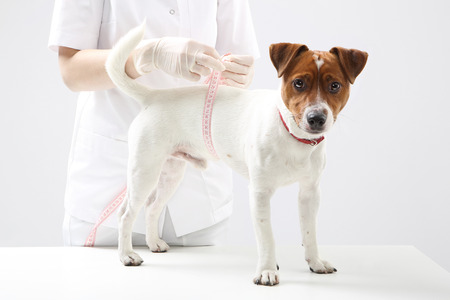 frock coat: Young Jack Russell Terrier dog at veterinarian during the measuring circuit Stock Photo