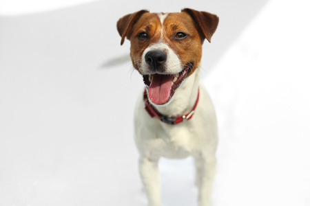 rascal: Jack Russell Terrier dog joyful. Portrait of a happy terrier in a red collar on a white background