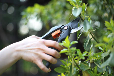 Crop plants spring treatments. Woman cut green bush clippers in the garden