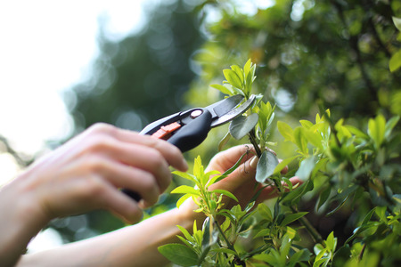 cut: Gardening and horticulture. Woman cut green bush clippers in the garden