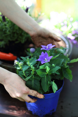 replanting: Planting work in the garden. Female plants in pot plants forming a beautiful flower composition