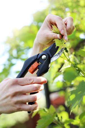 pruning shears: Vines pruning shears pruning vines. Stock Photo