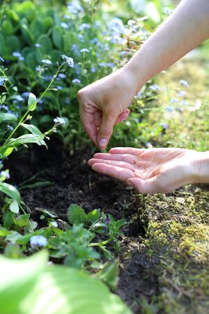 Hands gardener sowing seeds of plants in the garden spot of gardening photo