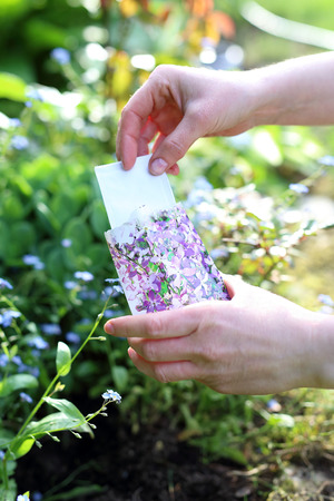 gillyflower: Matthiola longipetala. Hands gardener sowing seeds of plants in the garden spot of gardening