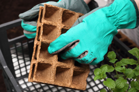 hotbed: Ecological garden, sowing plants into pots of peat
