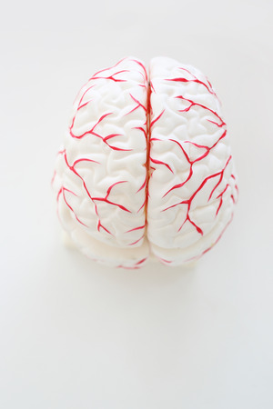 psyche: Model of human brain on a white background