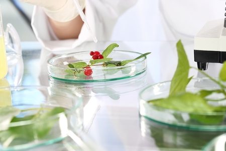 in vitro: plantas Laboratory injerto. Biotecnólogo examinar las muestras de plantas en el laboratorio