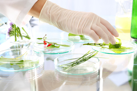 Plant propagation. Biotechnologist examine the plant samples in the laboratory Stock Photo
