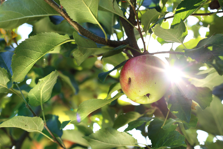 tree farming: Apple tree. Apples in the orchard.