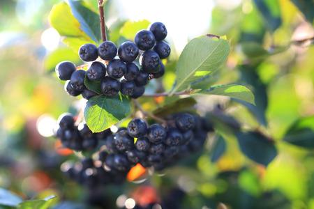 Chokeberry. Frutta matura sui rami di un arbusto di cespuglio Archivio Fotografico - 65477579