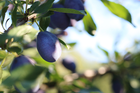 tree farming: Plums. Growing plums in the orchard fruit