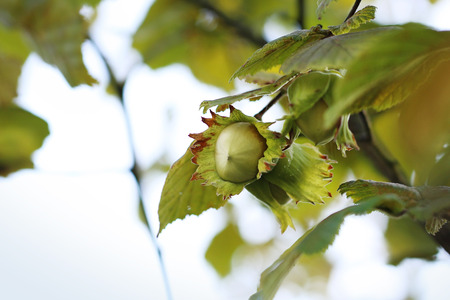 hazel tree: Hazel. Hazelnuts on hazel tree Stock Photo