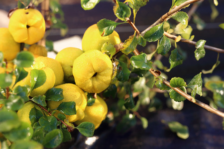 Fruiting quince shrub. Stock Photo