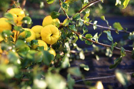 membrillo: arbusto de membrillo fructificación.