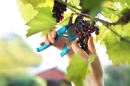 Gardener reaping red grapes.