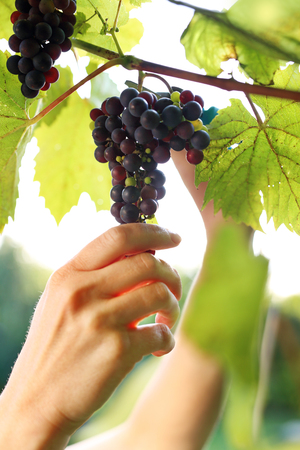 Gardener reaping red grapes.