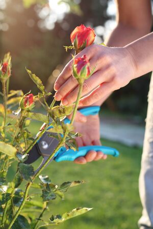 shrubs: Cutting the rose canes. Gardener pruning shears cut shrubs roses Stock Photo