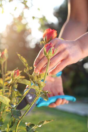 Flower garden, tending roses. Gardener pruning shears cut shrubs roses