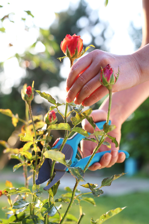shrubs: Gardening. Gardener pruning shears cut shrubs roses Stock Photo