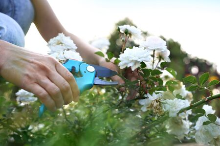 shrubs: Gardener pruning shears cut shrubs roses