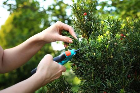 Cis, green bush shrub. Gardener pruned yew shrub shears. Stock Photo
