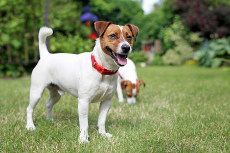 Pair of Jack Russell Terrier dogs Holidays with a dog. Terrier dog and dog rest on the grass