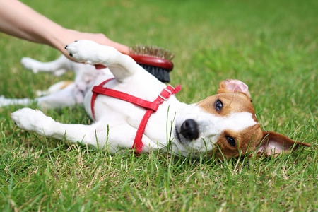 Breeding dogs. Jack Russell Terrier, white brown dog