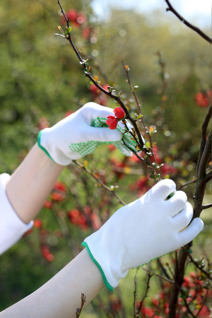 Spring plant care. The gardener checks the shoots on the quince bush. 版權商用圖片